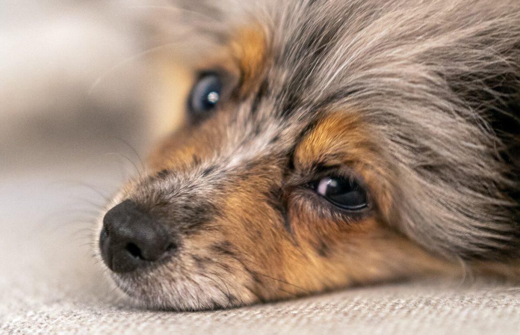 Ležiace šteňa - detail