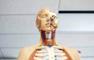 Read more about the article Aké sú účinky CBD v tele podporujúce homeostázu?