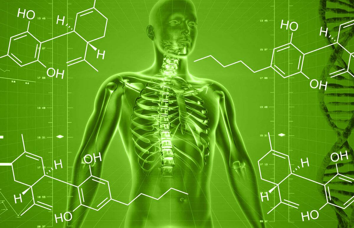 You are currently viewing CBD a ľudský endokanabinoidný systém