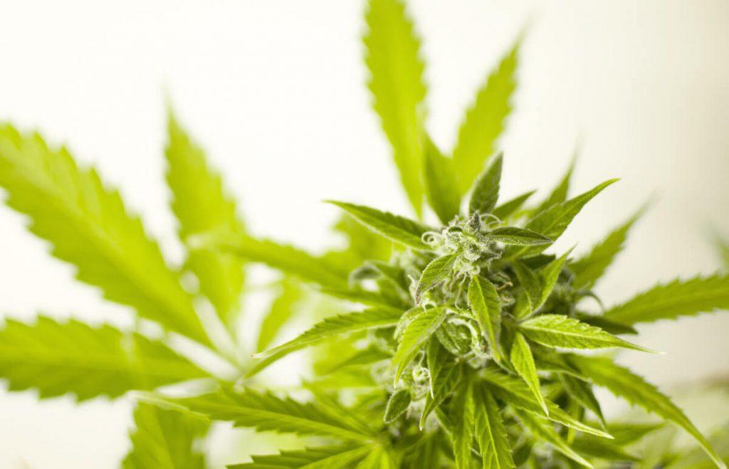 Rastlina a plod liečivého konope