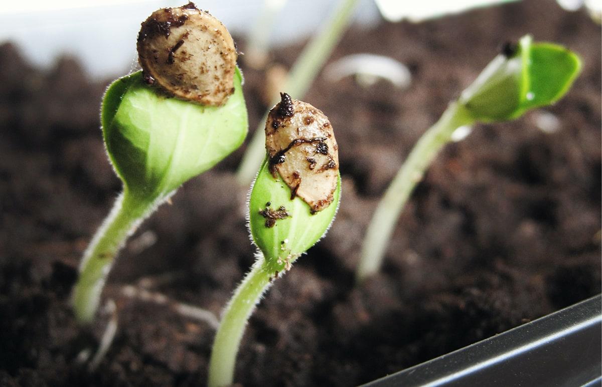 na obrázku sú klíčiace konopné semienka